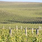 ... neskončne vinograde. (foto: Matevž Hribar)