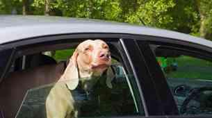 Zaščita psa med prevozom je prav tako pomembna kot zaščita potnikov